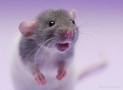 Сексуальность людей рождённых в год крысы